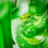 Grön gul pytonormorm som rullas ihop upp slågen in seende upp fyrkant för danandeögonkontakt Royaltyfri Fotografi