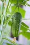 Grön gurka i drivhuset royaltyfria bilder