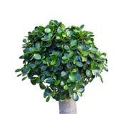 Grön häck Royaltyfri Bild
