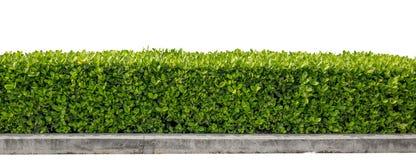 grön häck arkivbild