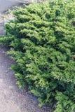 Grön häck av Thujaträd (cypress, en) Bush thuja Grön naturlig bakgrund för Thuja Fotografering för Bildbyråer