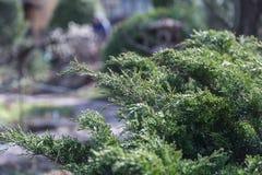 Grön häck av Thujaträd (cypress, en) Bush thuja Grön naturlig bakgrund för Thuja Arkivfoton