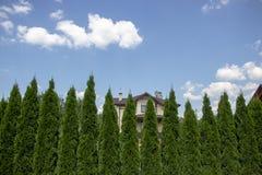 Grön häck av Thujaträd, natur, bakgrund mot bakgrunden av den blåa himlen royaltyfri bild