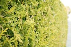 Grön häck av ThujaTrees Bush thujatextur Sidor av sörjer trädet royaltyfria foton