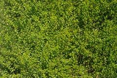 grön häck thick Arkivbild