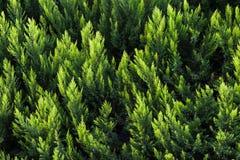 Grön häckbakgrund arkivfoton