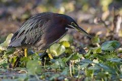 Grön häger som söker efter fisken i ett träsk i Florida Arkivfoton