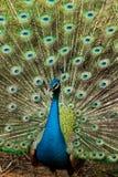 Grön härlig påfågel Royaltyfri Fotografi