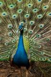 Grön härlig påfågel Royaltyfri Foto