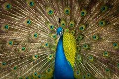 Grön härlig påfågel Arkivfoton