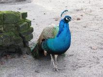 Grön härlig påfågel härlig fågel Arkivfoto