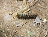 Grön hårig larv med röda och blåa prickar i Altai, Ryssland royaltyfri fotografi