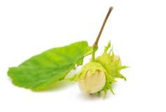 grön hasselnöt Fotografering för Bildbyråer