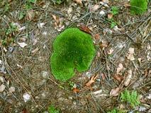 Grön hatt av skogmossa Arkivfoton