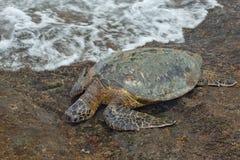 Grön havssköldpadda Fotografering för Bildbyråer