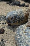 Grön havssköldpadda Royaltyfri Bild