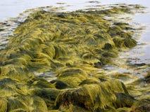 Grön havsväxt royaltyfria bilder