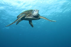 grön hawaiansk havssköldpadda Royaltyfria Foton