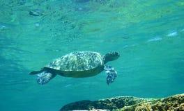 grön hawaii havssköldpadda royaltyfri bild