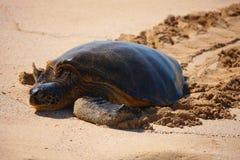 grön hawaii havssköldpadda Arkivbilder