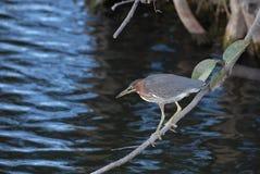 grön heron Royaltyfria Bilder