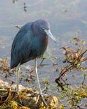 Grön Heron Arkivfoton