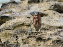 grön heron Royaltyfri Foto