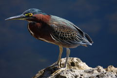 grön heron Fotografering för Bildbyråer