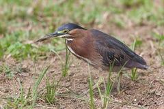 Grön Heron, Butorides virescens Royaltyfri Fotografi
