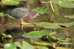 Grön Heron som förföljer dess rov Royaltyfri Bild