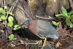 grön heronswamp Royaltyfri Fotografi