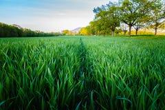 Grön himmel för vetefält och bleu Royaltyfri Foto