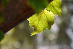 Grön hjärta format blad på trädet Royaltyfri Foto
