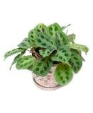 grön home kruka för blomma Royaltyfri Bild
