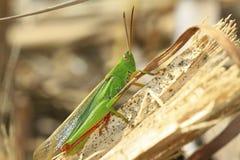 grön hopper Fotografering för Bildbyråer
