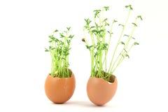 grön hor två för ägg Royaltyfria Foton