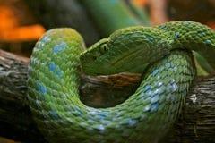 grön huggorm Fotografering för Bildbyråer