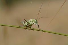 grön hummer Royaltyfria Foton