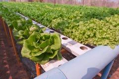 grön hydroponicsgrönsak för cosl Fotografering för Bildbyråer