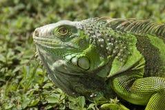 grön iguana3 Arkivfoto