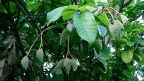 Grön infödd frukt Arkivfoto