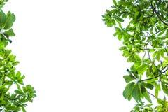 Grön isolerad bladbakgrund Arkivbilder