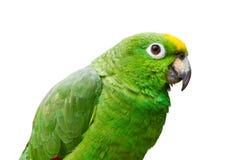 grön isolerad papegoja 2 fotografering för bildbyråer