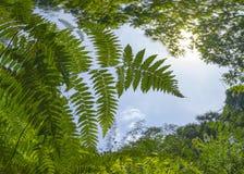 Grön jätte Fern Leaves Growing i Rainforestdjungel Räckvidd för den högsta himlen Begrepp av hopp och ambition Angiopteris evecta arkivfoton