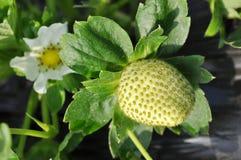 grön jordgubbe Royaltyfria Foton