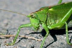 grön jordningsgräshoppa Arkivfoto
