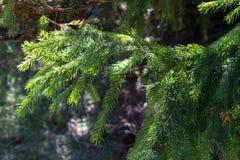 Grön julgran i solljuscloseup Barrskogbakgrund Prydliga visare stänger sig upp Vintergrön trädbackgroun arkivfoto