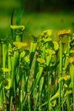 Grön köttätande växt arkivfoton