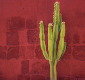 Grön kaktus över den röda väggen, Santa Catalina Monastery, Arequipa Arkivfoton