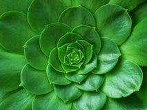 Grön kaktus Fotografering för Bildbyråer